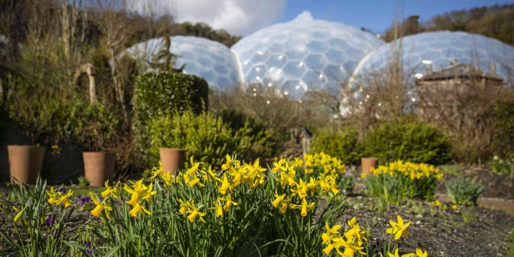 daffodils-eden-project